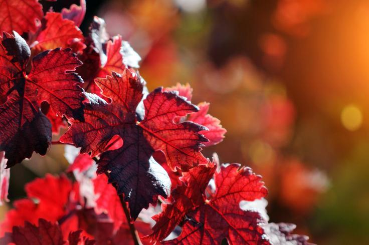 12 - vigne rouge