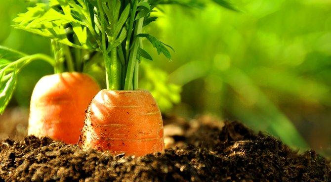 8- carotte